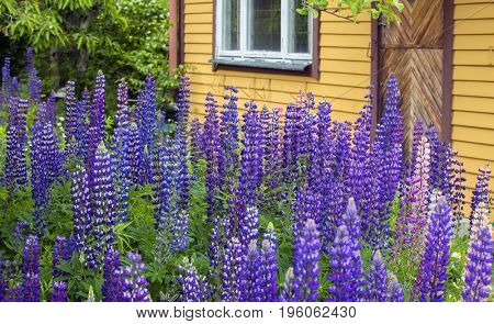 Lupine in Front of a yellow  House