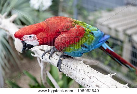 Big parrot macaw. A big bird in bright red blue green lights