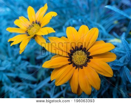Blooming orange Gazania. A flower native to Southern Africa.