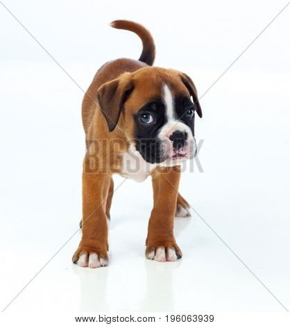 Adorable boxer puppy isolated on white background