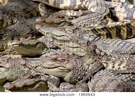 Crocodile Community
