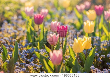 Spring flowers background. Pink and yellow flowers tulips by sunlight.Tulips in spring colourful tulip.