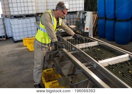 Technician examining olive on conveyor belt in oil factory