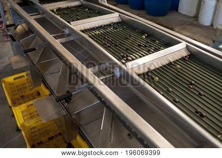 Fresh olives on conveyor belt in oil factory
