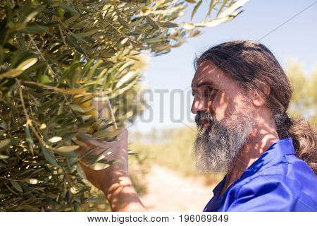 Man examining pickled olive in farm on a sunny day