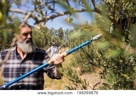 Man using olive picking tool while harvesting in farm