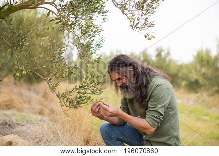 Farmer examining olive on plant in farm