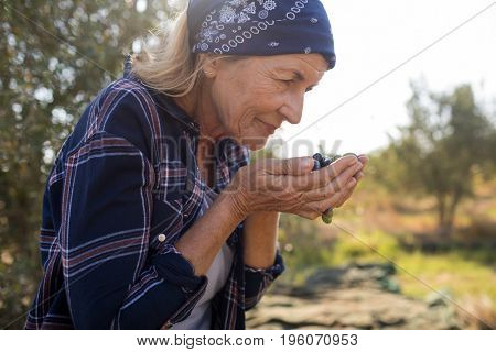 Woman smelling fresh olives in farm