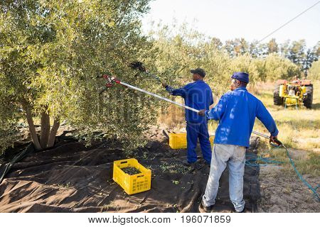 Farmers using olive picking tool while harvesting in farm