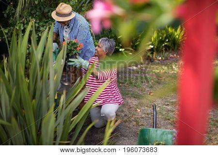 Senior couple planting flowers while gardening in yard