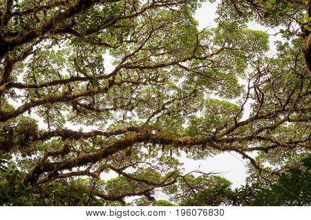 Tree foliage in rainforest Monteverde Costa Rica