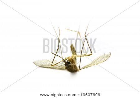 Dead Mosquito Macro
