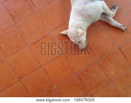 A sleepy white dog on brown floor