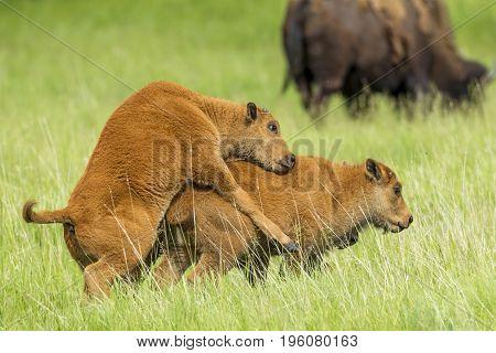 One bison calf mounts another calf near Custer South Dakota.