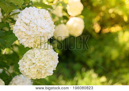 Decorative Kalina bush Viburnum or Buldonezh. Viburnum with white flowers a lot of buds