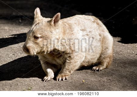 this is a close up of a wombat