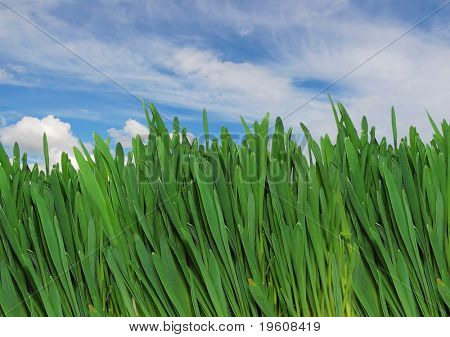 green grass on a background sky.