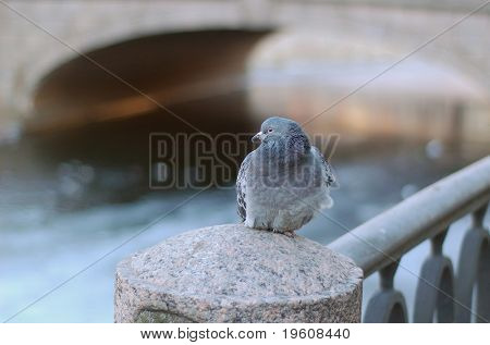Rock-dove, cold weather. poster