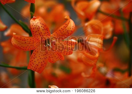 A considerable quantity of small orange Asian lilies create both object and a background. Petals in claret points.