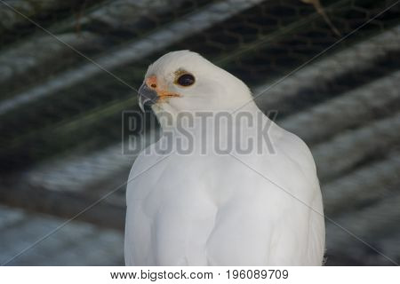 this is a close up of a grey goshawk