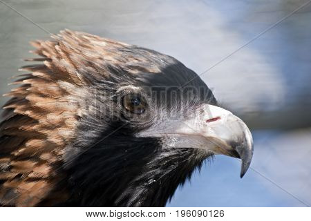 this is a close up of a black breasted buzzard