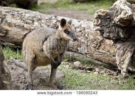 the swamp wallaby is standing in a paddock