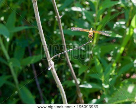 A golden dragonfly sits on a grass stem