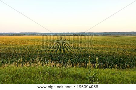 Long rows of growing corn appear against the horizon.