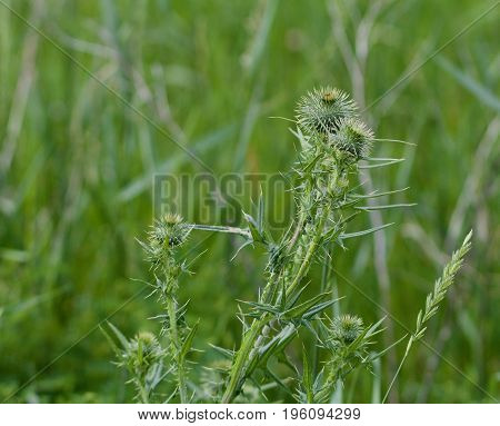 Sharp green thistles appear in a grassy field.