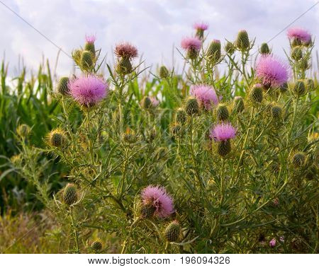 Thistle blossoms show against the corn and sky.