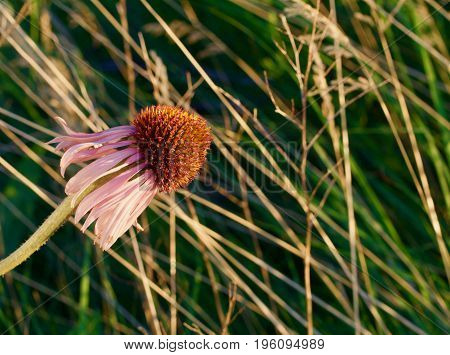 A prairie flower leans the the right.