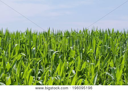 Young green corns reaches for the sky.