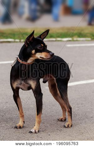 The dog breed Manchester Toy Terrier a close-up