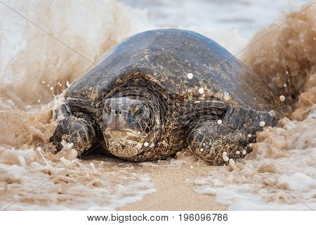 Portrait of a Green Sea turtle playing in the surf waves on the beach. In Hawaii they call these turtles Honu.