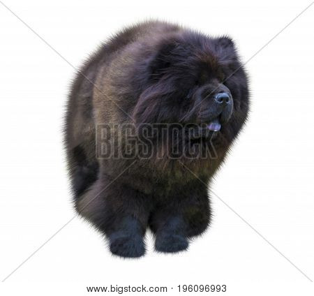 dog chow chow. chow chow dog in front of white background. Black Chow-chow puppy. Portrait on white background