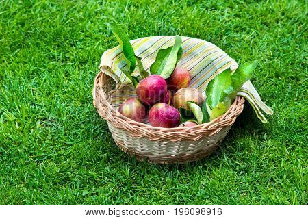 Apples in a wooden basket with a tablecloth. Fruit on green fresh grass in the garden.