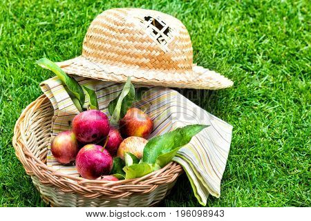 Apples in a wooden basket with a tablecloth and a straw hat. Fruit on green fresh grass in the garden.