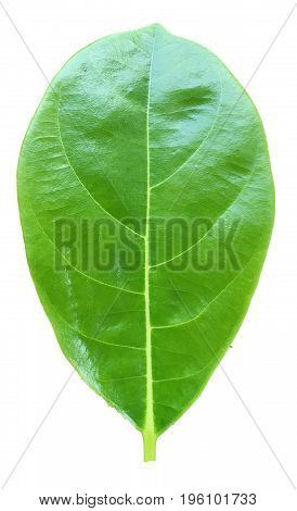 Green leaves of jackfruit or leaf tropical trees in Thailand and have clipping paths to easy deployment.