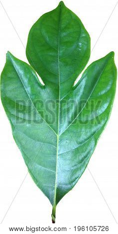 Green leaves or leaf tropical trees in Thailand and have clipping paths to easy deployment.
