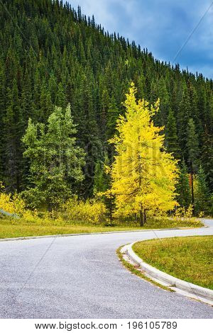 The magnificent Rocky Mountains. The warm Indian summer in October. Yellowed slender aspen beside the road adjacent to the green spruce