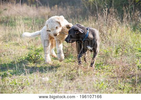 Two dogs playing with the stick during a walk