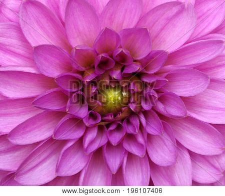 Dahlia flower closeup. Macro. Nature background.