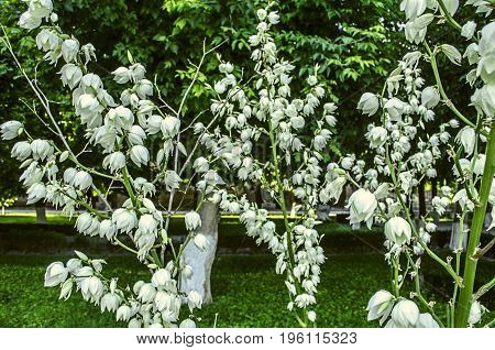 Large white flowers of Yucca on high filamentous stalk in the Park