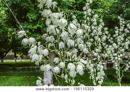 White flowers of Yucca filamentous with a high stems in the park