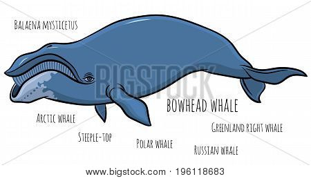 bowhead or greenland whale  - hand drawn vector illustration