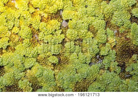 Close up Green salvinia fern texture background nature
