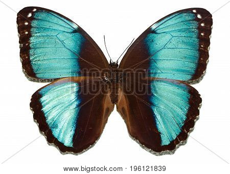 Butterfly morphide with blue wings on a white background