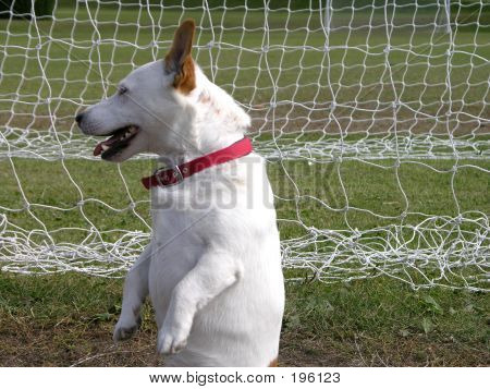 Dog Posing As Goalkeeper