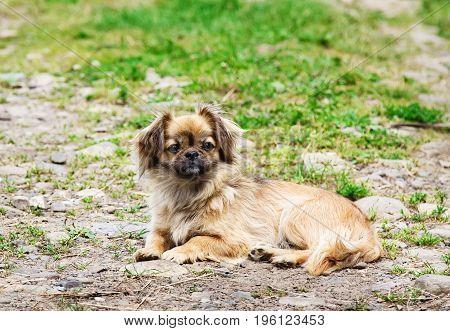 Portrait Of Pekingese Dog On A Grass Outdoor.