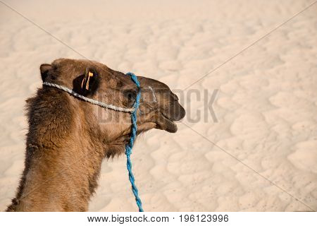 Camel For Tourist Traffic In A Dust In Tunisia